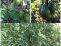 ¡Siembra un árbol en tu patio! muestra resultados en El Pinar